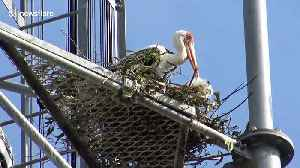 Storks return home in Thailand only to find trees have been replaced by mobile phone towers [Video]