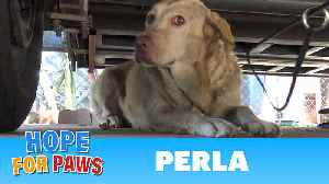 Yellow Labrador dumped after being used for breeding puppies. Look how happy she is now! [Video]