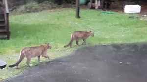 Two Mountain Lions Walk Through Yard [Video]
