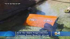 Jack The Shark Prognosticator Chooses Super Bowl Victor [Video]