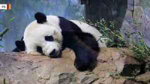 This Picture Proves Pandas Looks Adorable Even When Mating [Video]