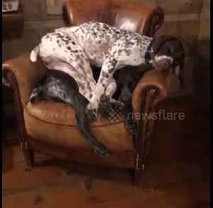 News video: 'This is my spot!' Dog sits on top of other dog in hilarious video