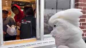 Crazy cockatoo screams and dances for drive-thru employees [Video]