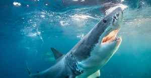 Great White Shark Charges Two Spearfishers And Takes Fish Out Of Diver's Grasp [Video]