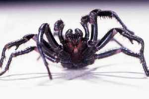 Experts are warning against a new threat for storm-battered cities: the funnel-web spider [Video]