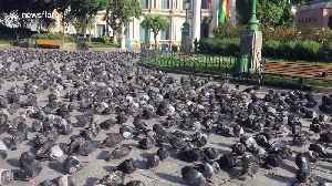 If you're scared of pigeons you may want to look away now [Video]