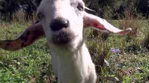 Indian River County trying out goats instead of chemicals [Video]