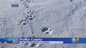 Wildlife Officers Find Wolf Tracks Around Carcass In Moffat County [Video]