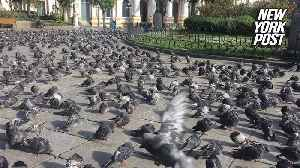 Hundreds of pigeons stand their ground in this creepy video [Video]
