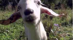 Using goats to remove invasive plants [Video]