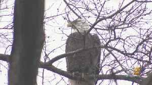 Bald Eagle Spotted In Upper West Side Park [Video]