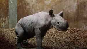 Eastern black rhino welcomed into the world at Wales zoo [Video]