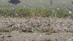 Locust swarms destroy crops in East Africa [Video]