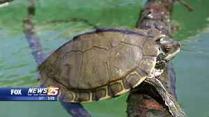 Environmental groups sue Trump Admin. due to failure to protect turtles [Video]