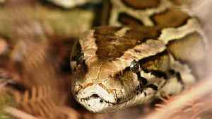 80 reptiles caught in Miami Super Bowl Burmese python hunt [Video]