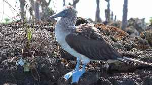 The blue-footed booby is one of Galapagos' most iconic animals [Video]