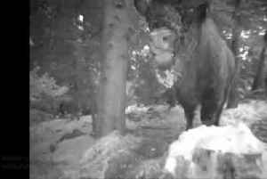 Hidden camera captures massive bisons in Poland forest [Video]