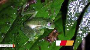 After 18 Years, Glass Frogs Spotted Again In Bolivia [Video]