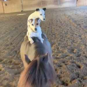 Two Dogs Ride On Miniature Horse's Back [Video]