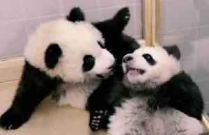 Playful giant panda cubs frolic ahead of Berlin zoo public debut [Video]