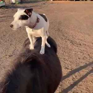 Two Dogs Ride On Miniature Horses' Backs [Video]