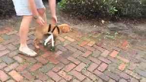 Golden retriever with deformed legs receives a custom wheelchair [Video]