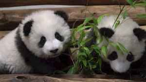 Adorable Panda Cubs Play Together Ahead of Zoo Unveiling [Video]