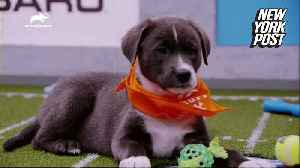 The Puppy Bowl's irresistible starting lineup is ready to em-bark [Video]