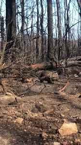 Wombat and Baby Wander Through Burnt Bush [Video]