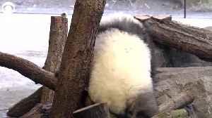 WEB EXTRA: Giant Panda Cub Twins Play In Panda Garden [Video]