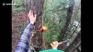 Tree climbing arborist in Washington nearly has a terrifying work accident [Video]