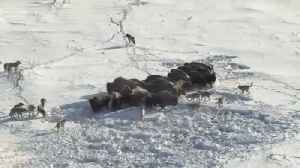 Frozen Planet: Gray Wolves Chase Down Bison [Video]