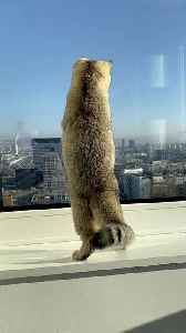 Cat catches a fly on the window of the 22nd floor [Video]