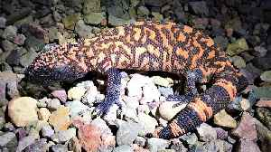 Gila monster sighting causes biologist to hyperventilate with excitement [Video]
