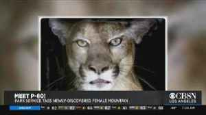 Mountain Lion Tagged in Santa Monica Mountains [Video]