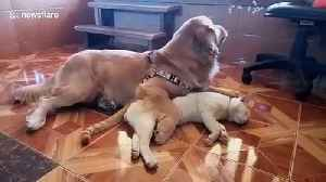 Golden retriever spoons cat best friend [Video]