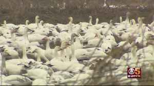 Millions Of Migrating Ducks, Geese, Cranes Blanket Central Valley [Video]