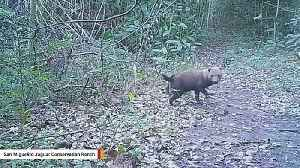 Elusive Bush Dogs Captured On Trail Camera [Video]