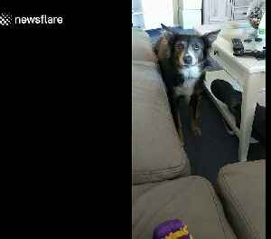 Dog 'silent barks' in hilarious attempt to gain her owner's attention [Video]