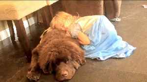 Little girl takes caring for her giant puppy very seriously [Video]