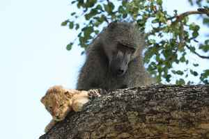 """This baboon and a lion cub perfectly recreated a scene out of """"The Lion King"""" [Video]"""