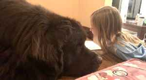 Newfoundland adorably waits for his best friend to finish homework [Video]