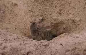 German zoo welcomes first new meerkat pups in seven years [Video]
