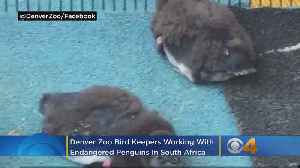 Saving Endangered Penguins: Denver Zoo Bird Keepers Working In South Africa [Video]