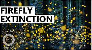 Fireflies threatened by artificial light, habitat loss: Study [Video]