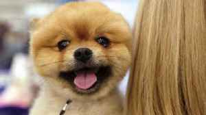 News video: The Westminster Dog Show Has Crowned the Canine King or Queen 142 Years Running