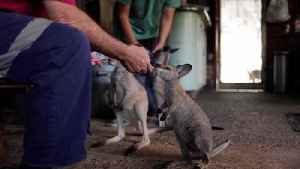 Australian Couple Caring for Over a Dozen Orphaned Baby Kangaroos Affected by Bushfires! [Video]