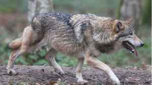 Gray Wolf Travels 8,712 Miles, Seeking New Pack, Dies in California [Video]