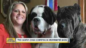 News video: 2 Canton dogs competing in Westminster Kennel Club Dog Show