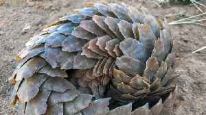 Humans May Have Contracted Coronavirus From Pangolins [Video]